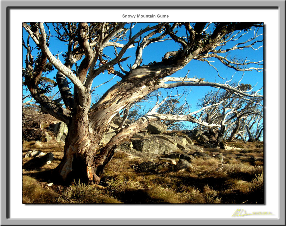 Snowy Mountain Gums