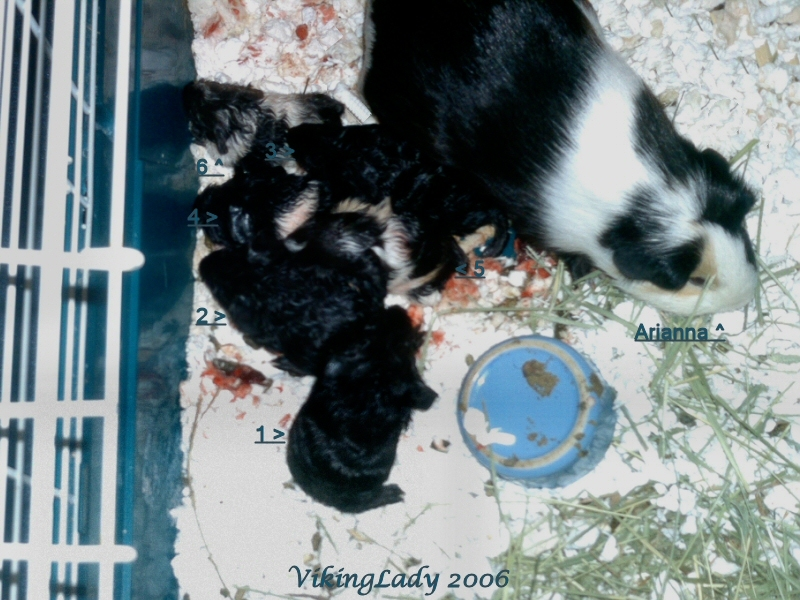 6 Guinea Pig babies right after birth *Blood*