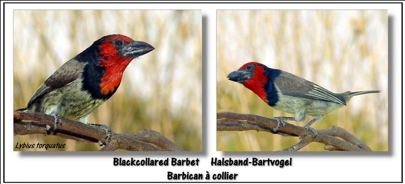 Black-collared Barbet