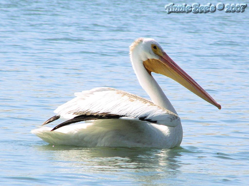 Pelican At Turlock Lake