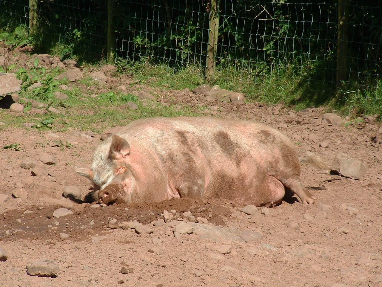 Happy As A Pig In Muck!