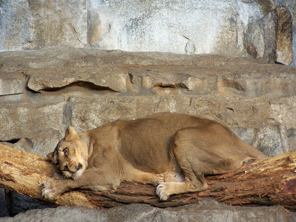 Indian lioness
