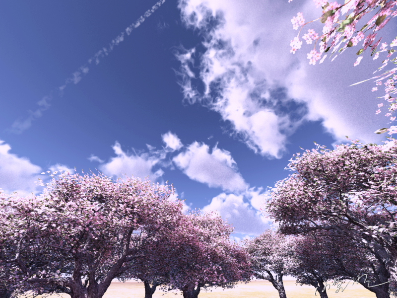 Cherry trees and contrail