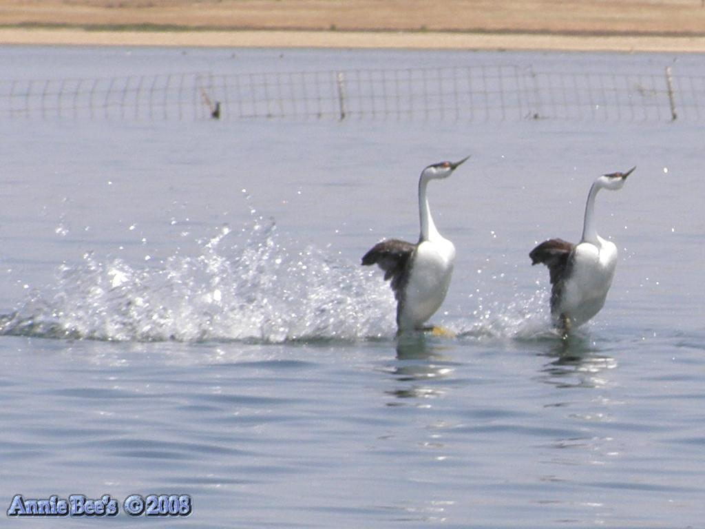 Western Grebe Mating Dance