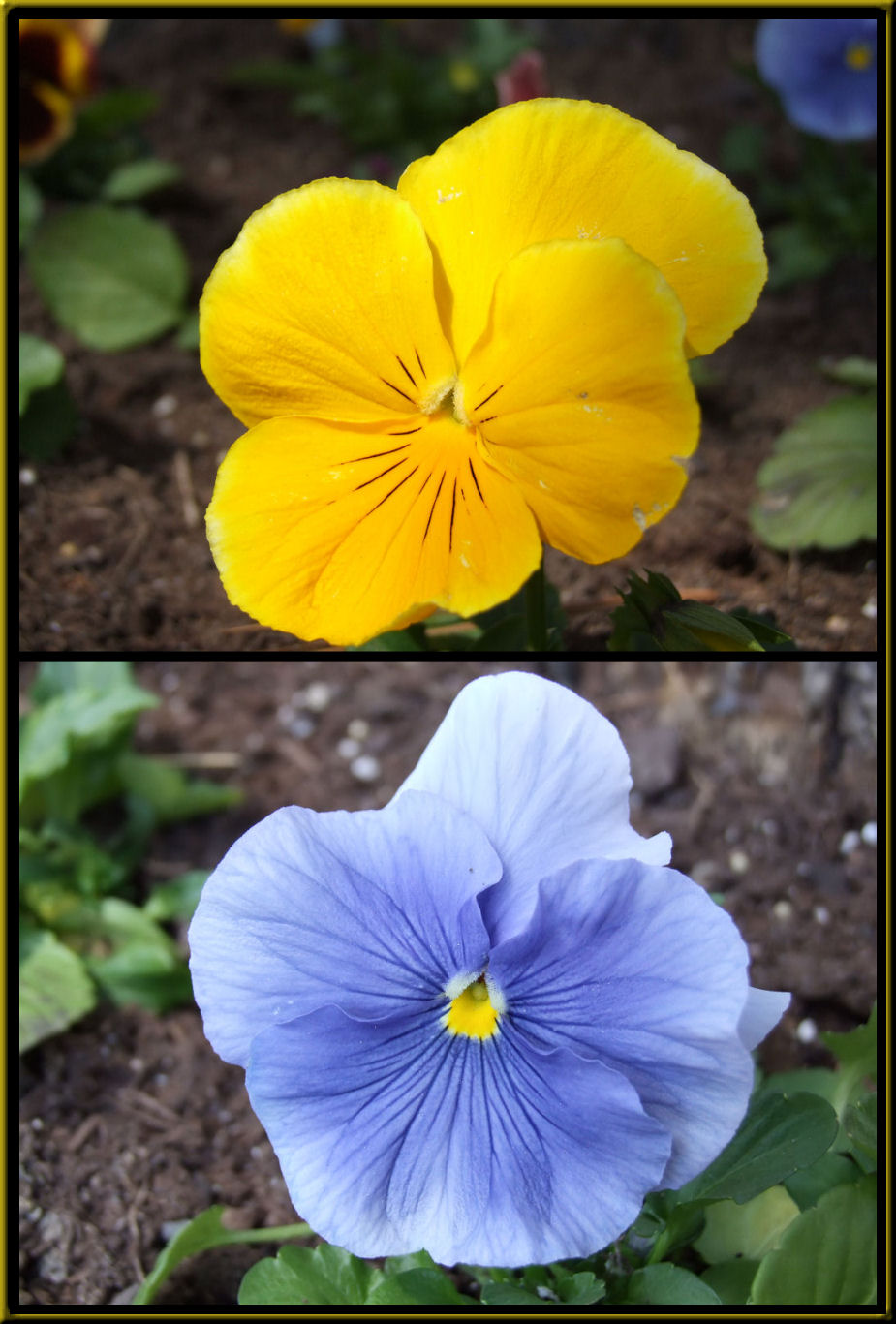 Yellow And Blue By Gbcalls Photography Flowersplants