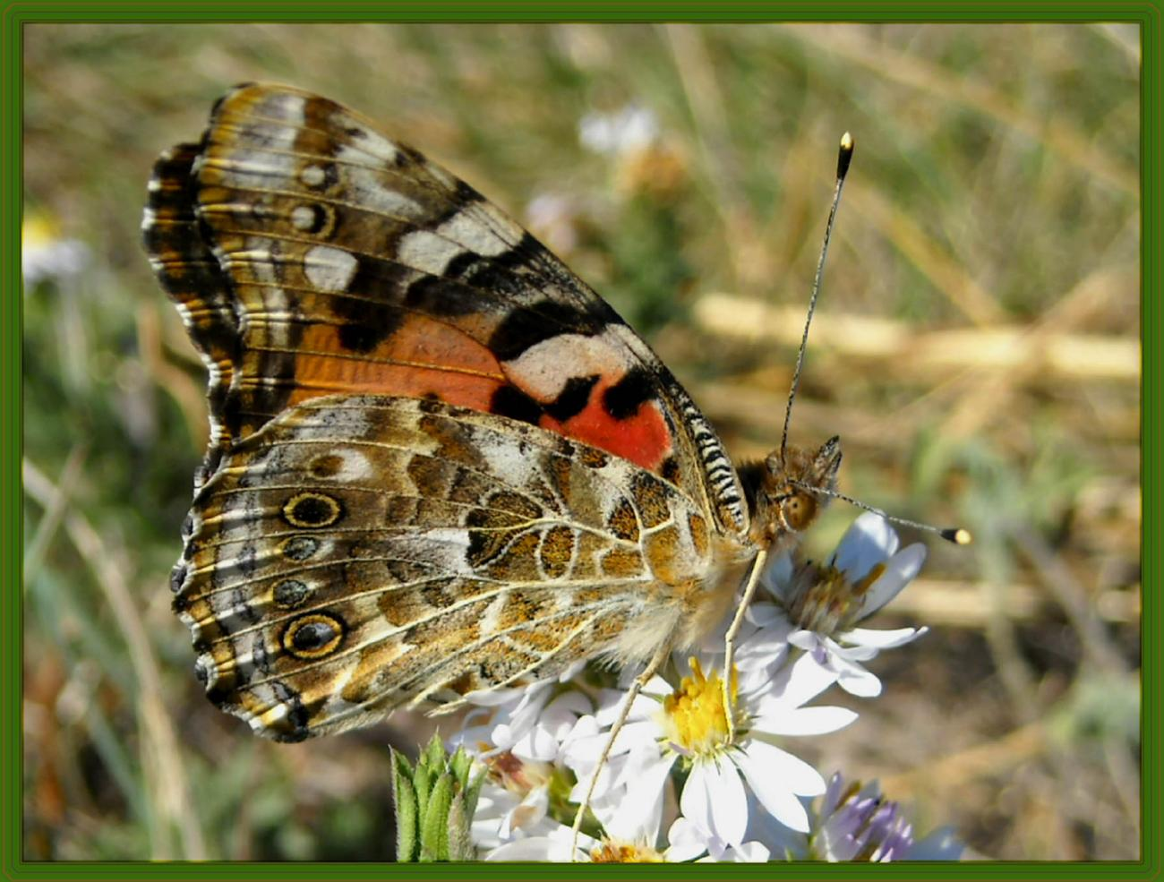 Painted Lady-Underside