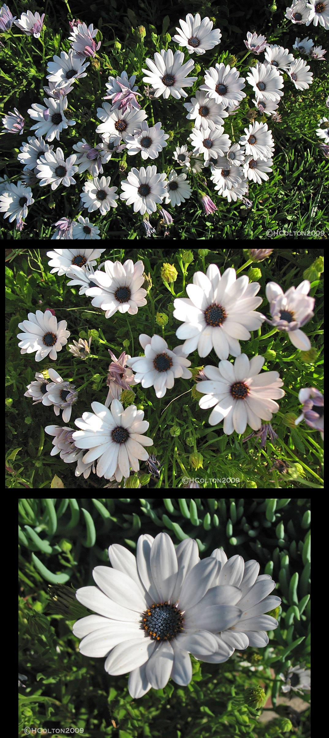 Osteospermum Daisies 1 By Goodoleboy Photography Flowersplants