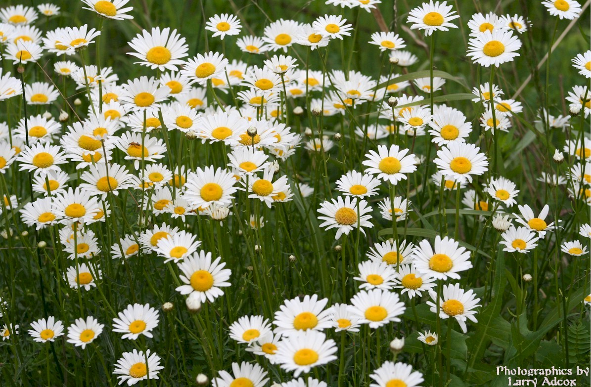 Wild Daisies By Tuneup Photography Flowersplants