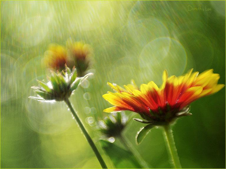 Gaillardia After The Rain