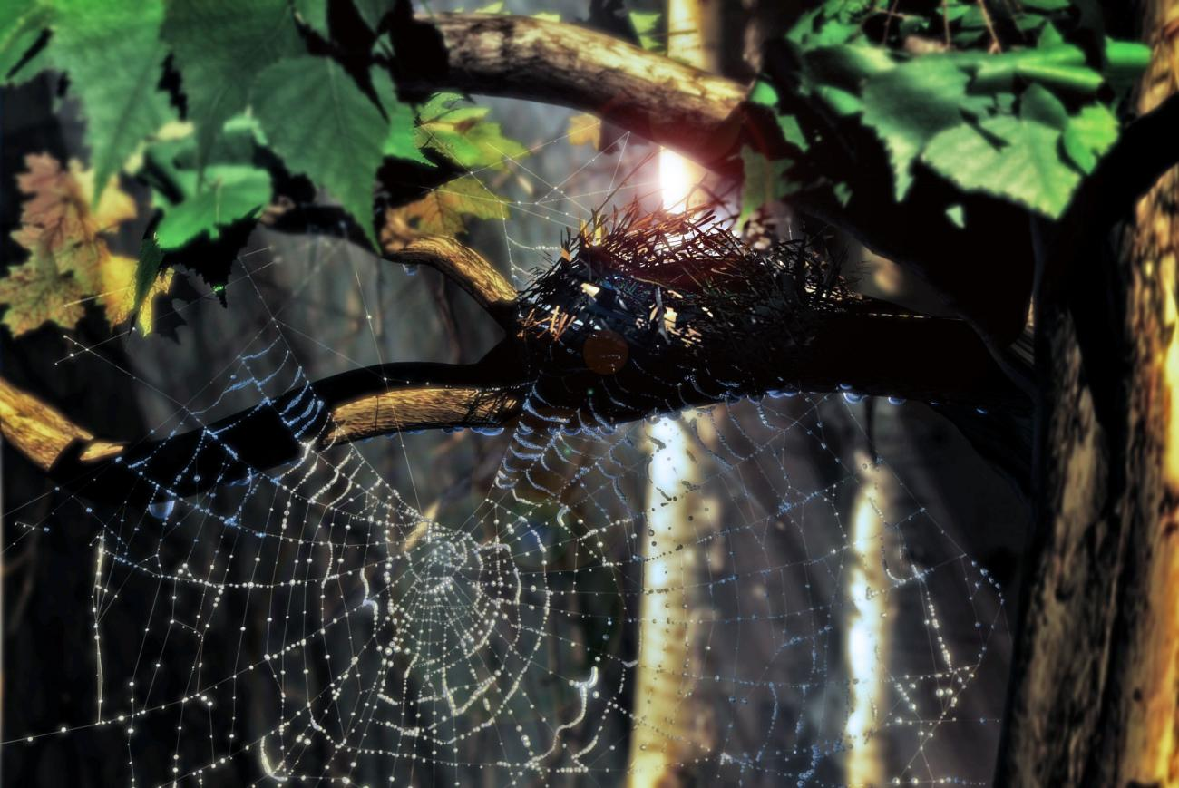 Spider web and dew drops