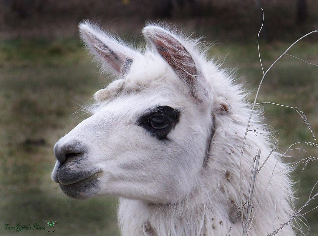 Llama...Up Close & Personal  by orig_buggy