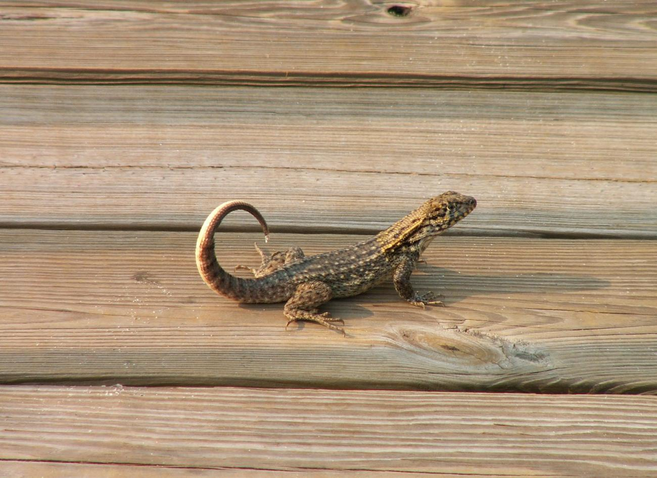 curly tail lizard for Clive (cfulton)