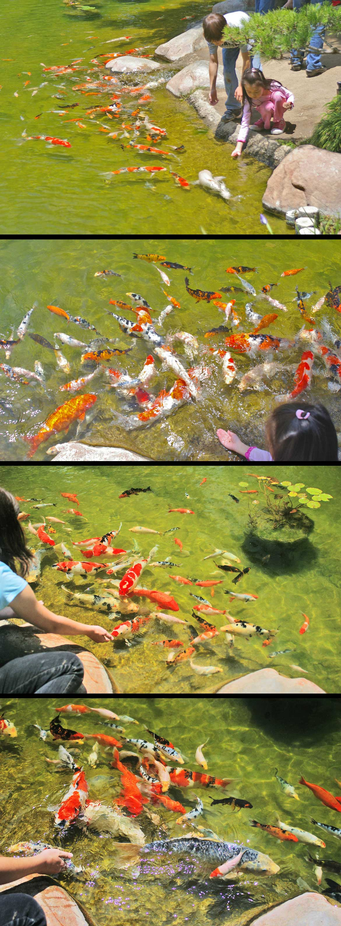 The Joy of Koi #14 - feeding the fishies