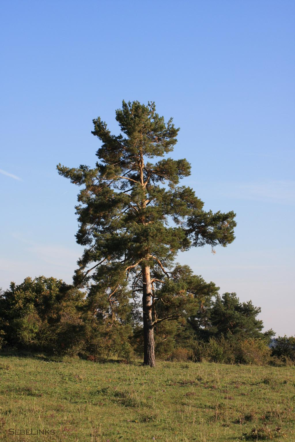 Tree on the Betzenbuckel