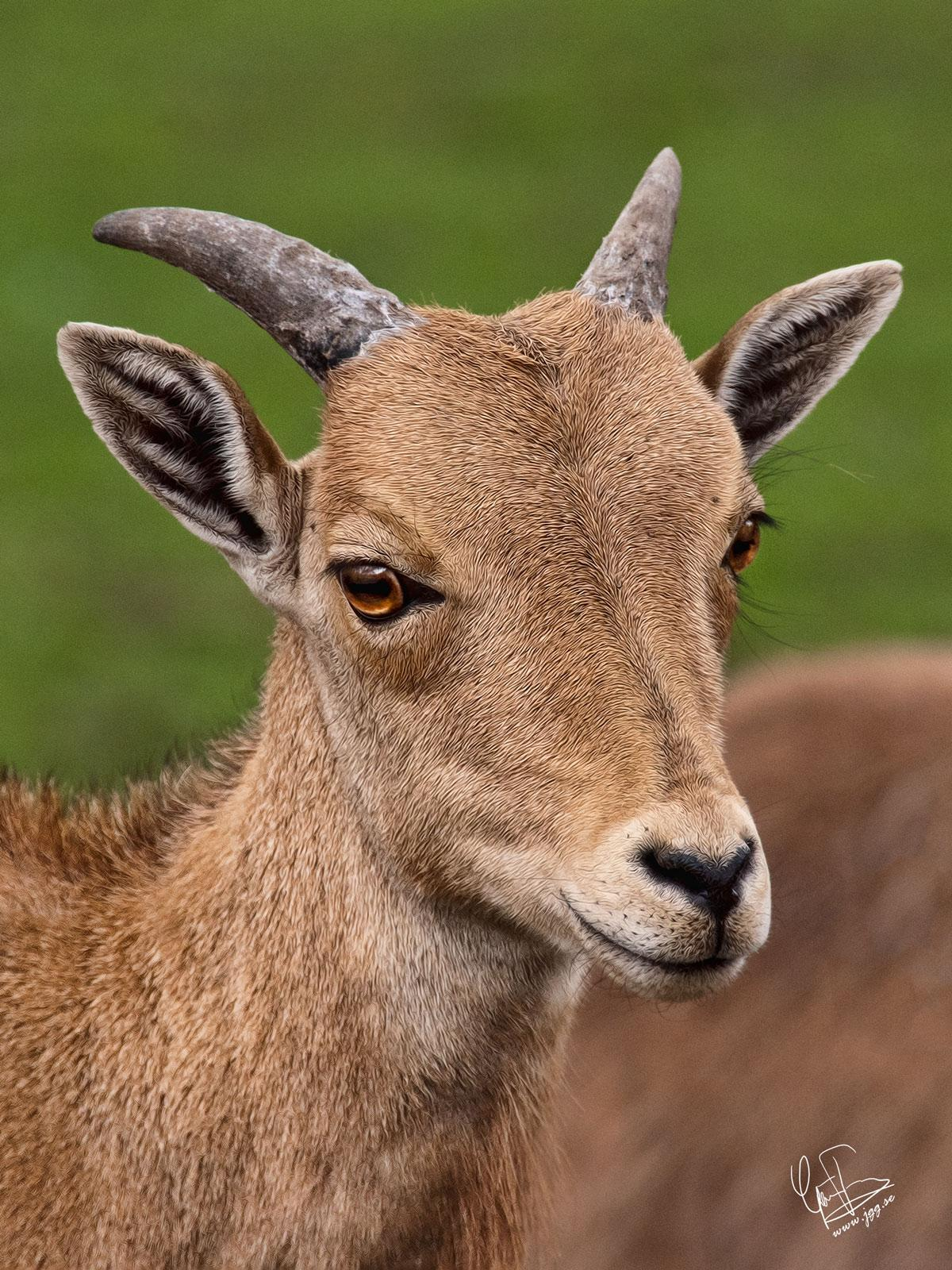 Barbary sheep by Junglegeorge