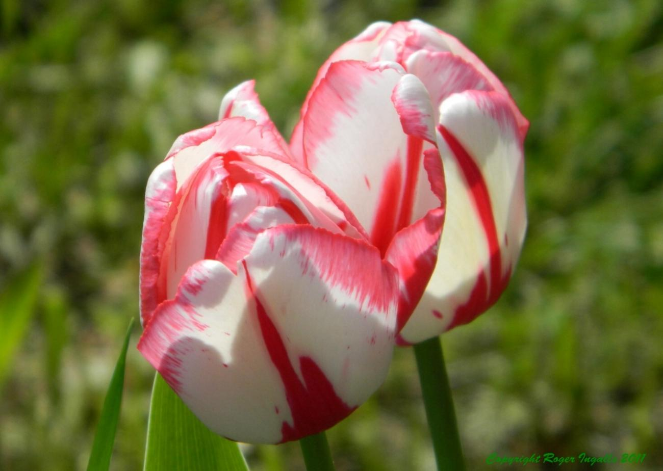 Tulips  -- Spring is finally here !
