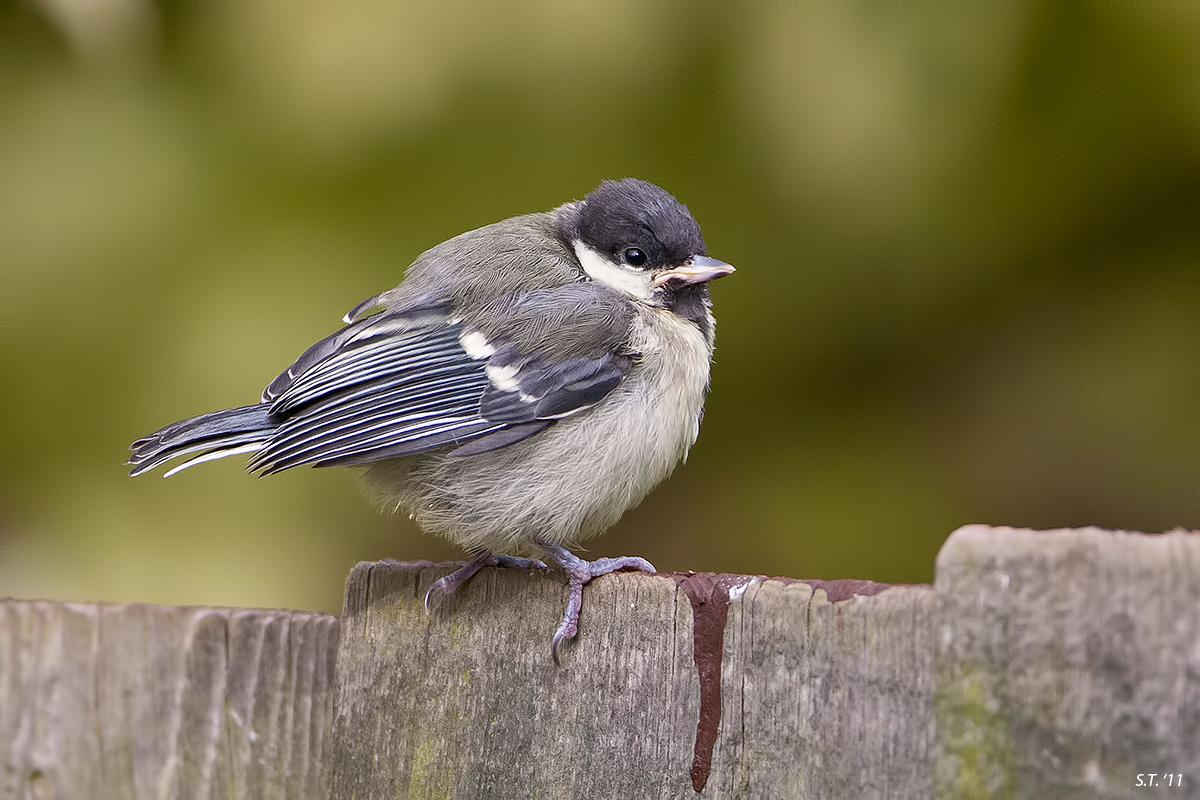 Parus major by tommorules