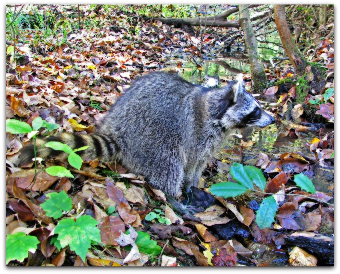 Raccoon Release 3