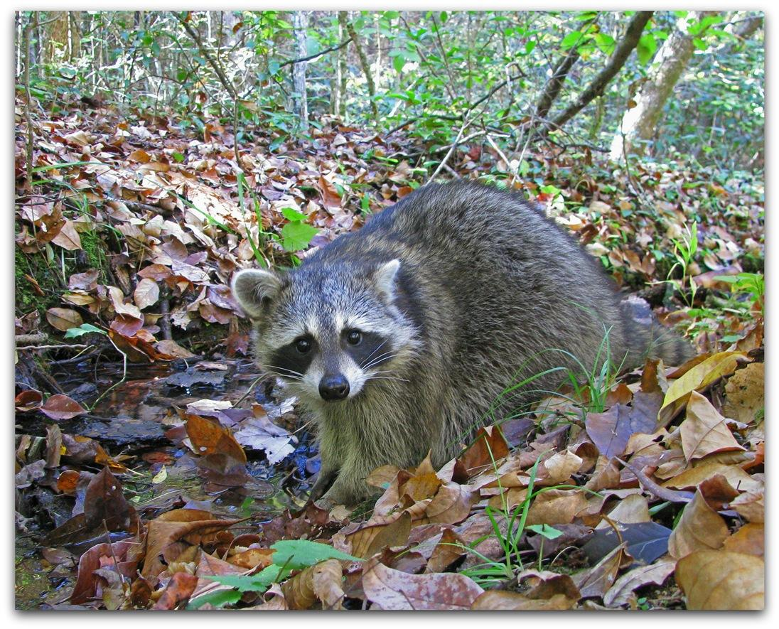Raccoon Release 4