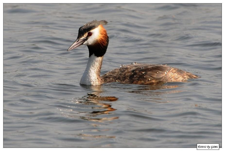 Another Grebe (Great Crested)