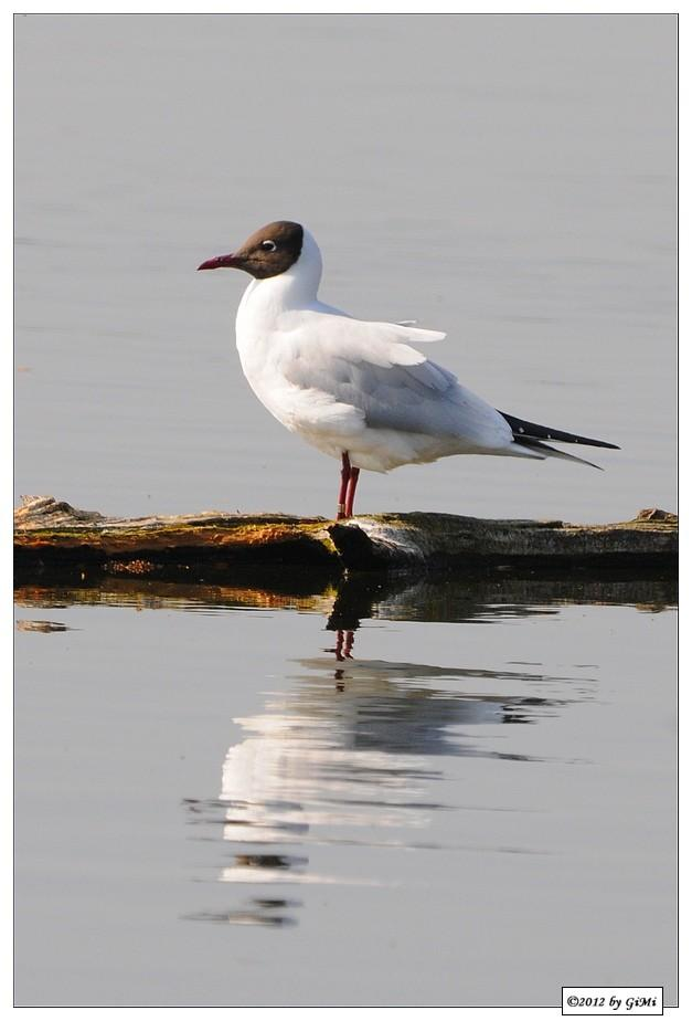 Black-headed Gull - Mouette rieuse