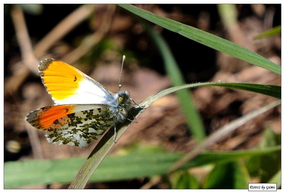 Orange Tip - Aurore (mâle)