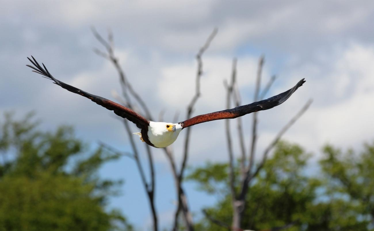 Fish Eagle in motion