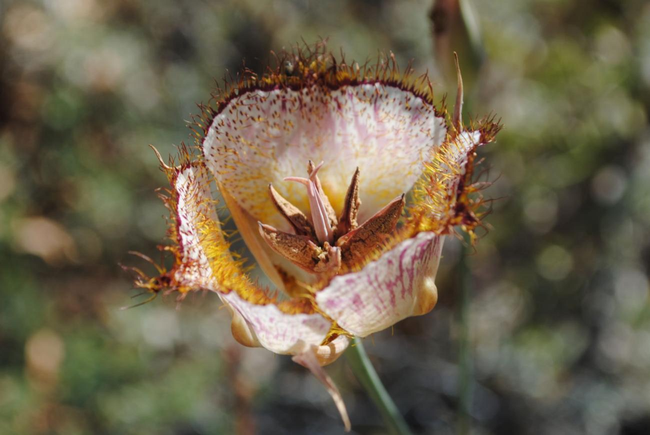 Late-flowered mariposa lily