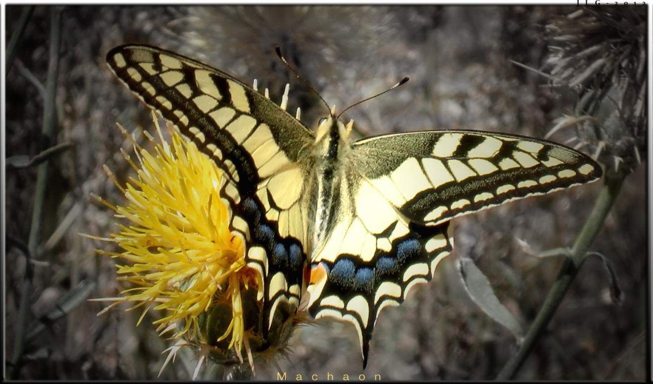 The Machaon´s Colors