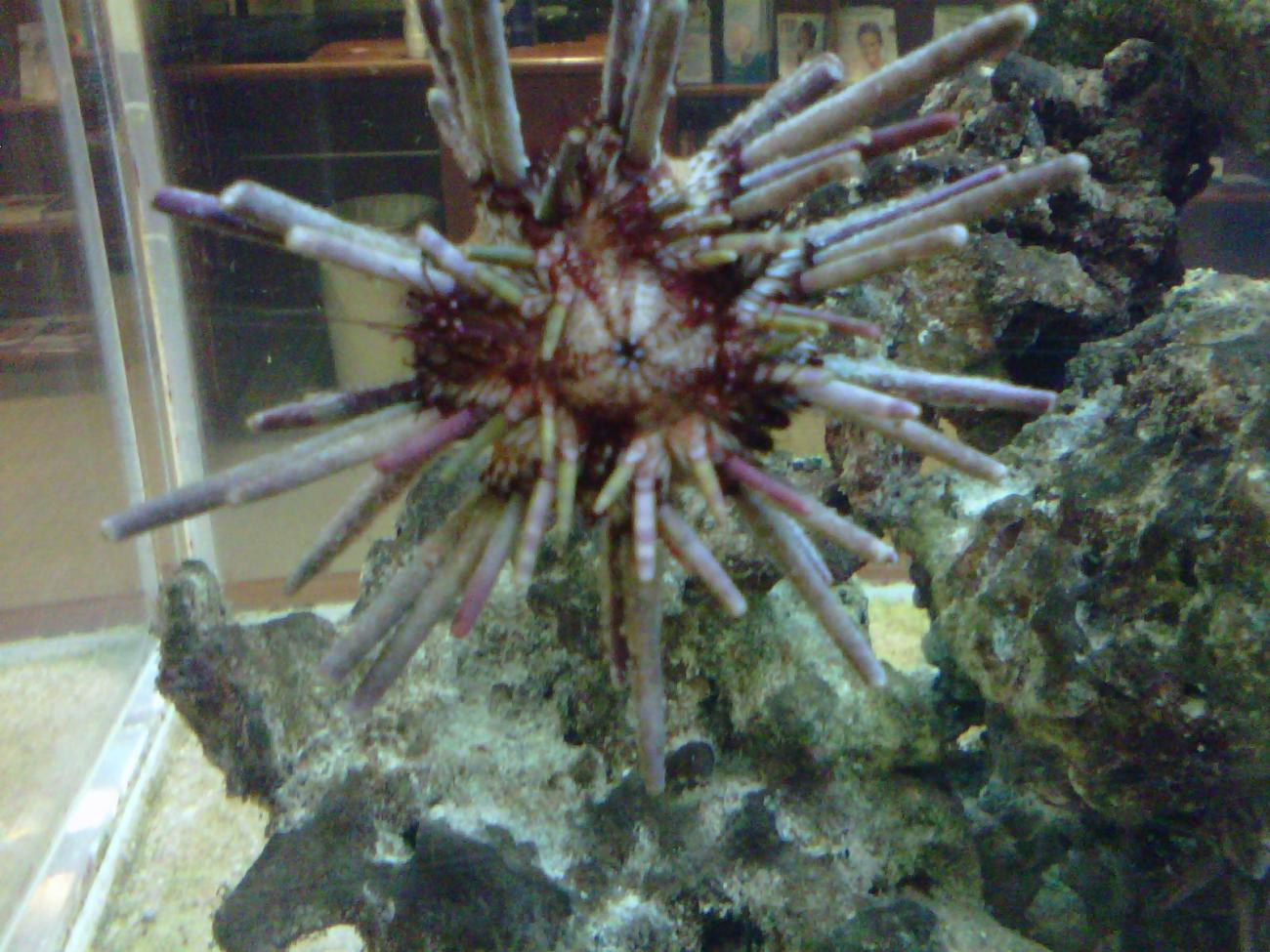 Sea Urchin Too See U2