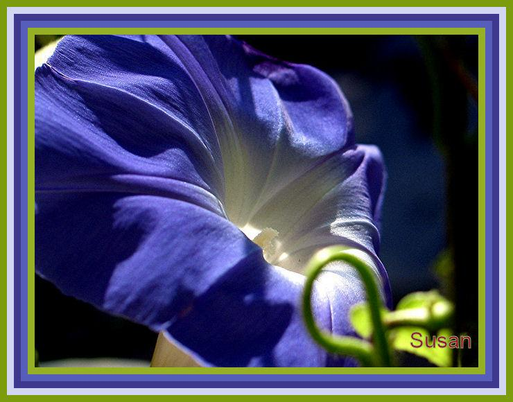 ~~Morning Glory Ruffles~~