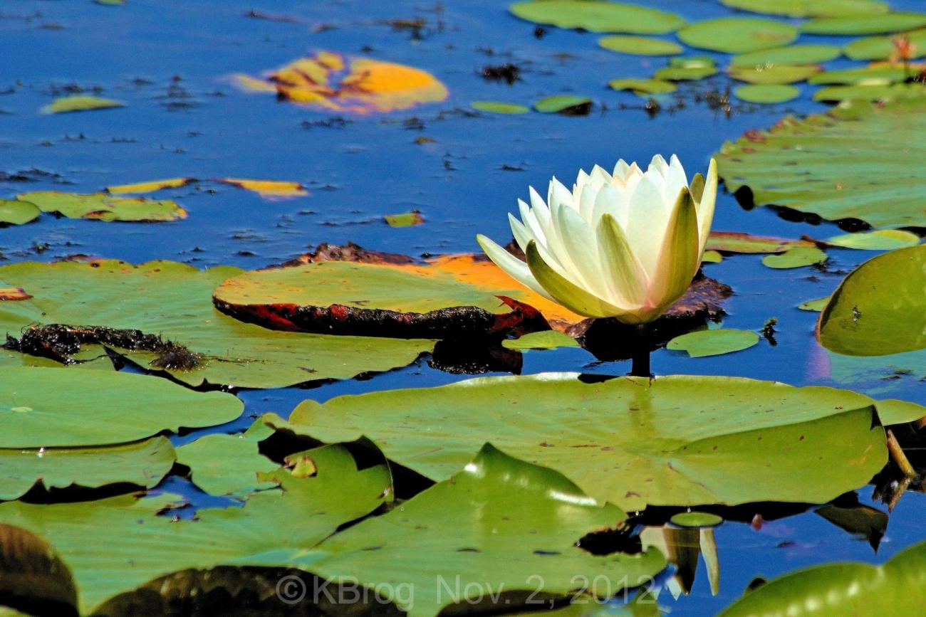 Last of the Water Lilies