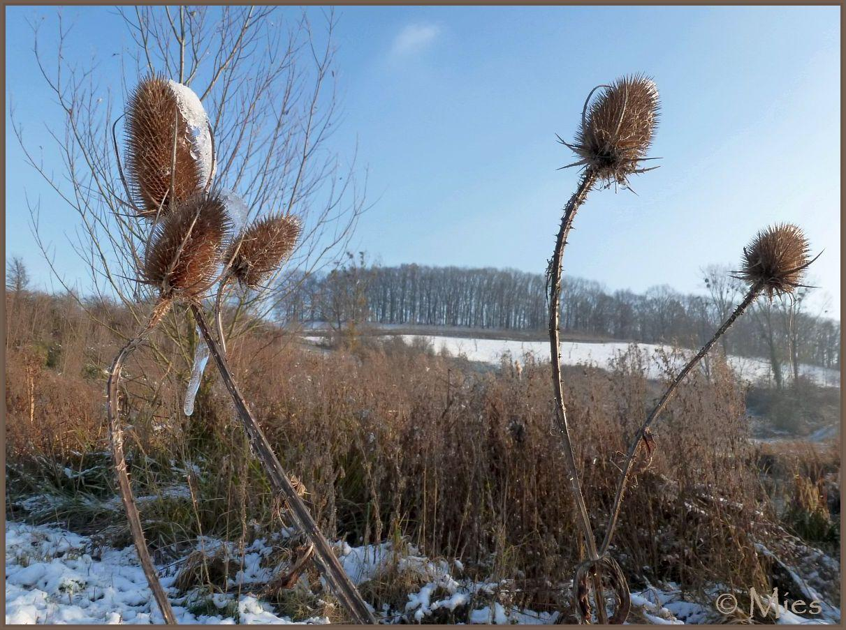 Teasel with snowheads