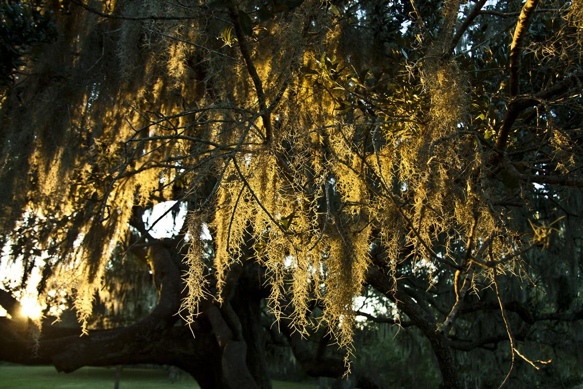 Sunlit Spanish Moss for Dana (Orest4wicked)