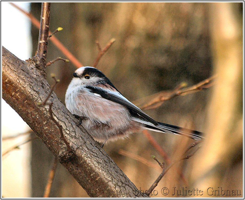 Staartmeesje; Long-tailed Tit