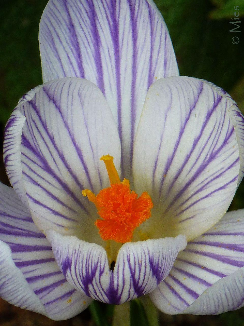 Deep focus on a crocus