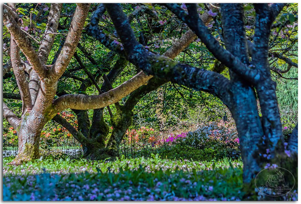 Azaleas through the trees
