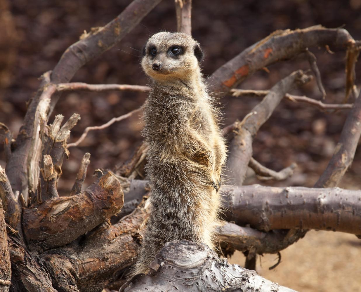 Meerkat / Here's looking at you.