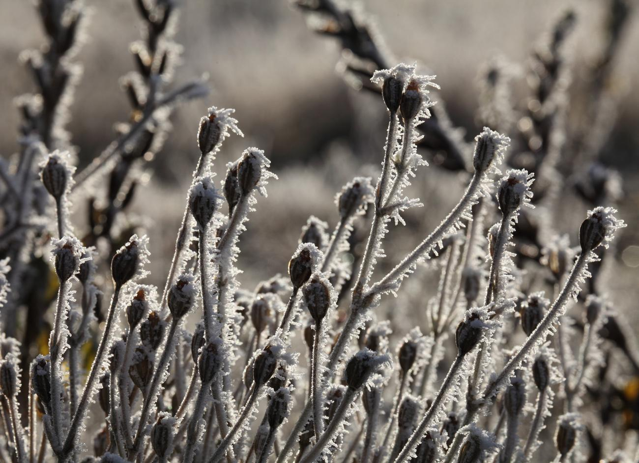 Seedheads in the frost.