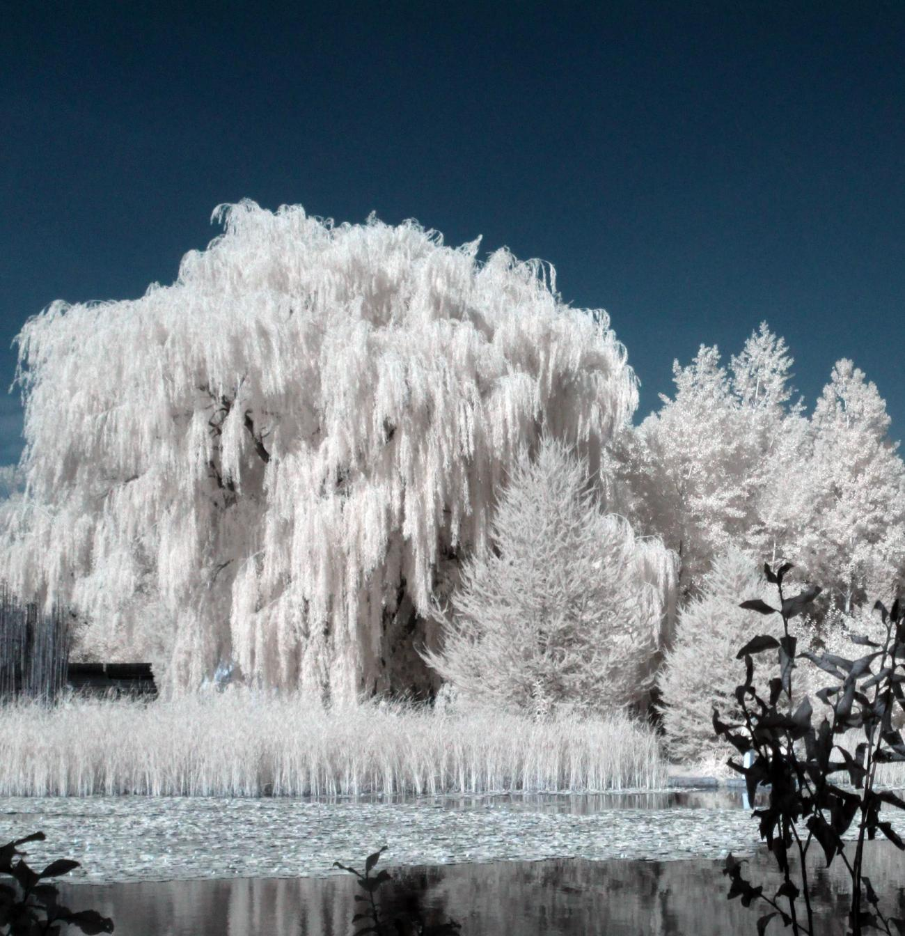 IR Weeping Willow by Luc2