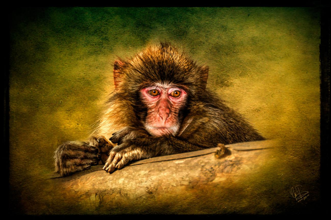 Japanese macaque by Junglegeorge