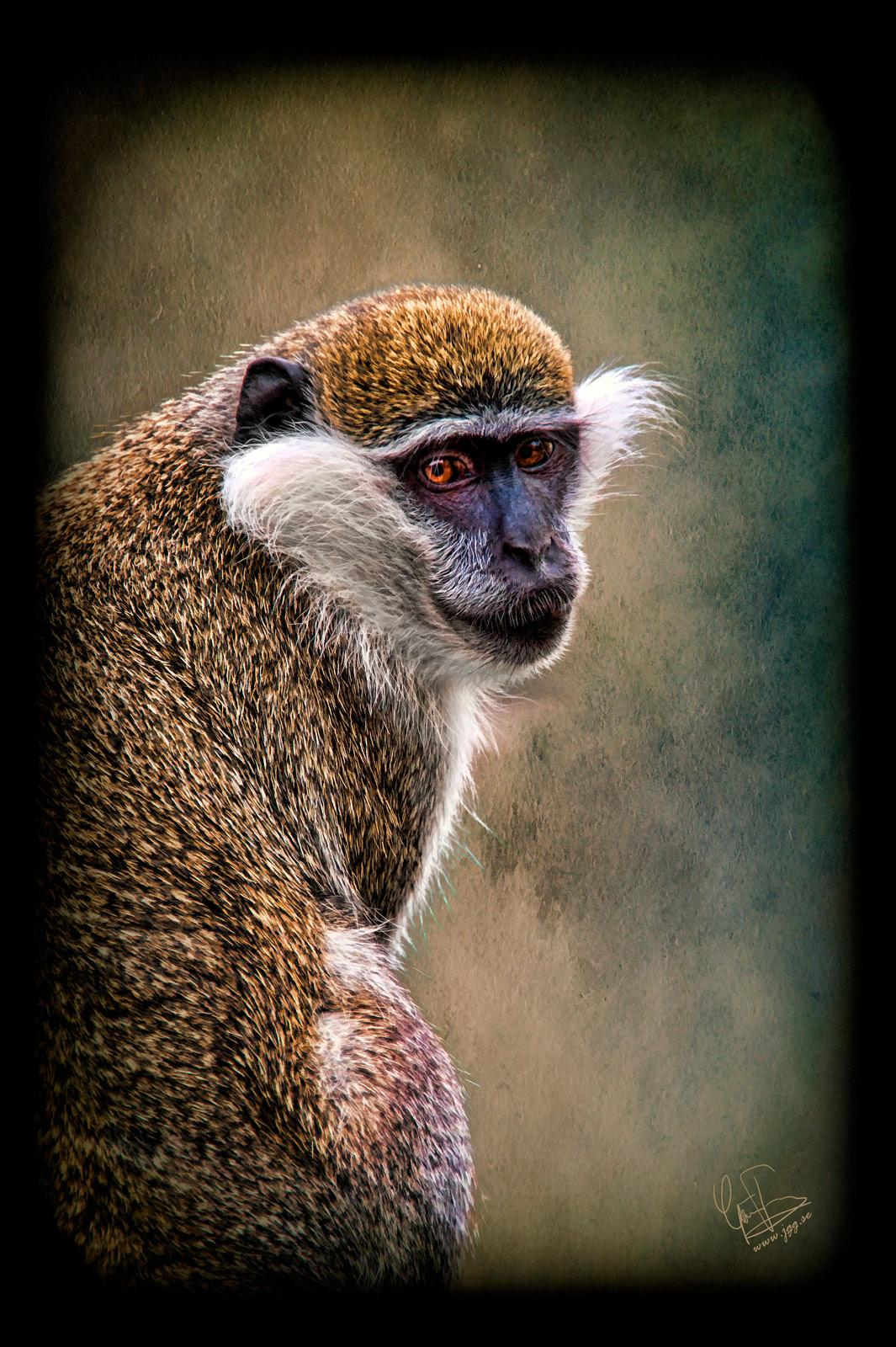Vervet monkey  by Junglegeorge