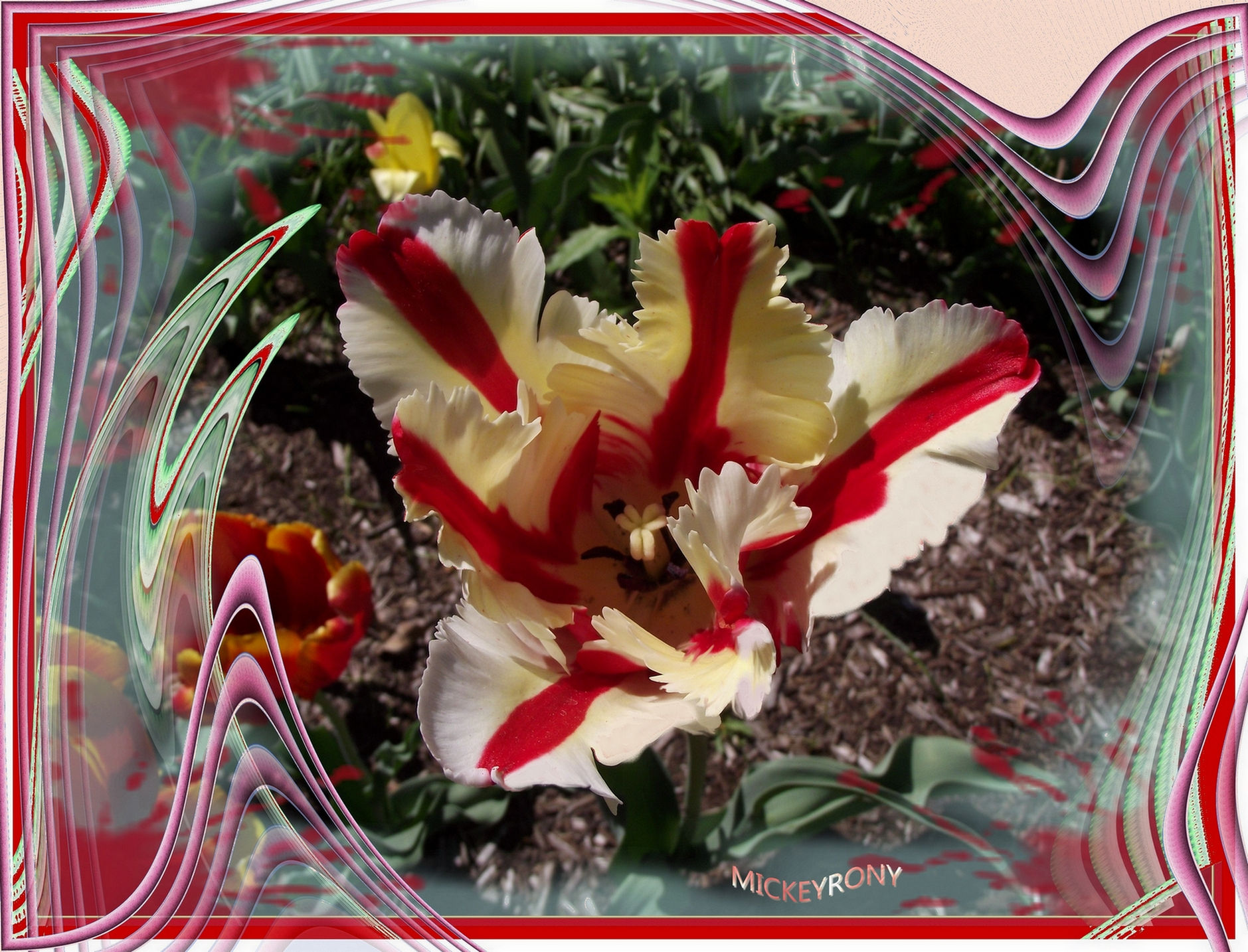 Missing you all my friends (tulipe)