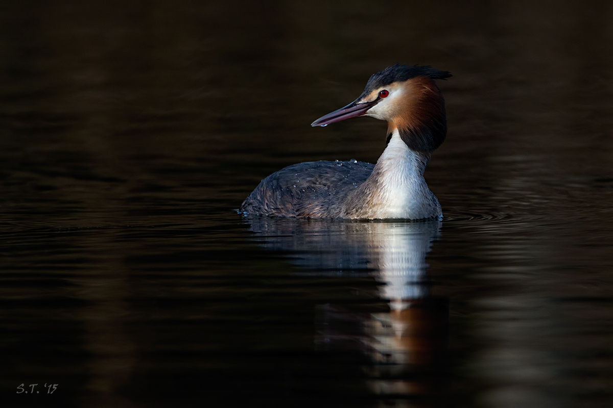 Great crested grebe by tommorules