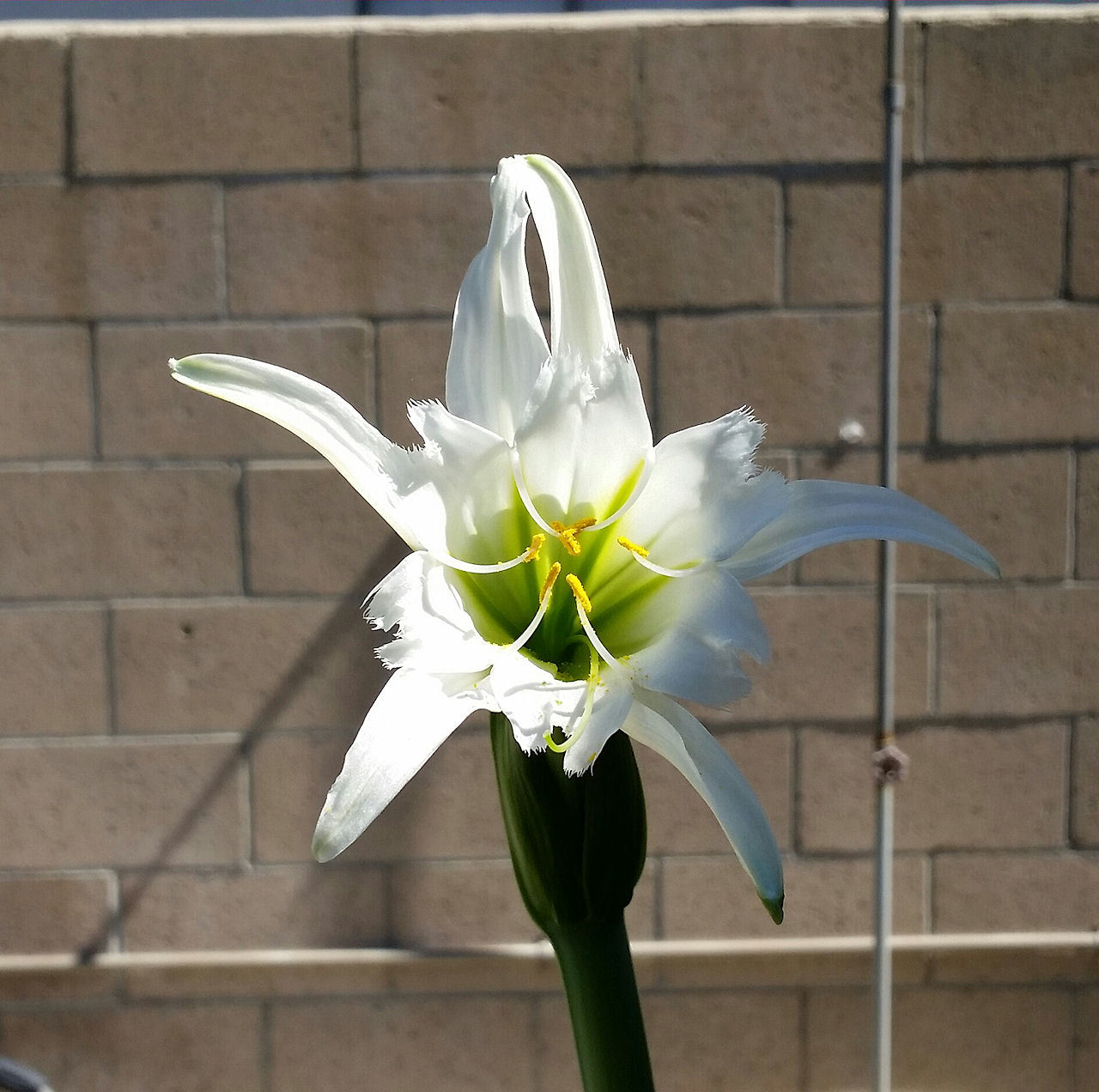 White lily. by bebopdlx