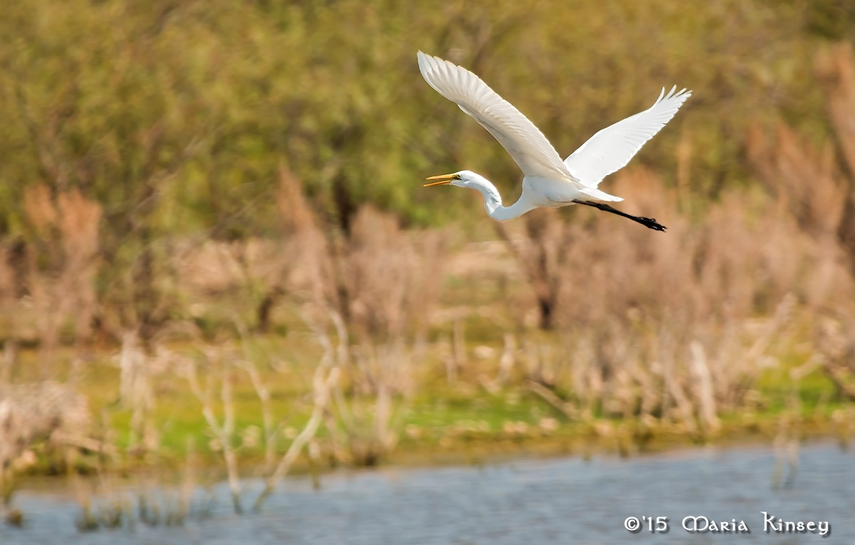 Great Egret (for Bill)