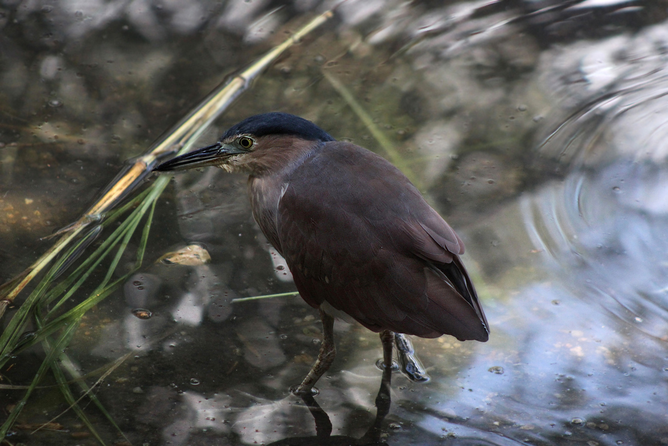 Nankeen Night-Heron.