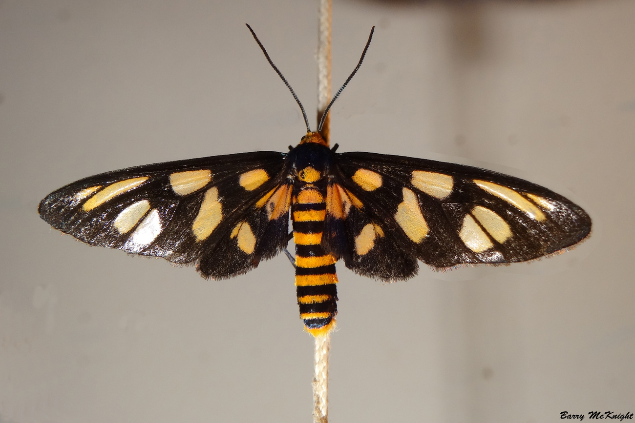 Moth #909 - Orange spotted tiger moth.
