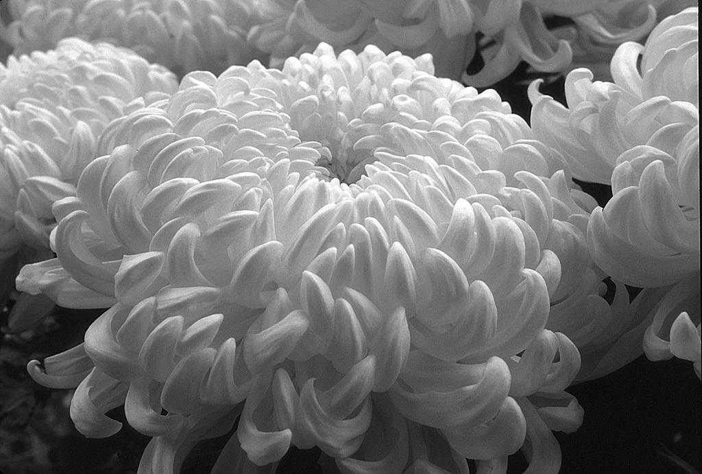 White mums by treasureprints photography flowersplants white mums mightylinksfo