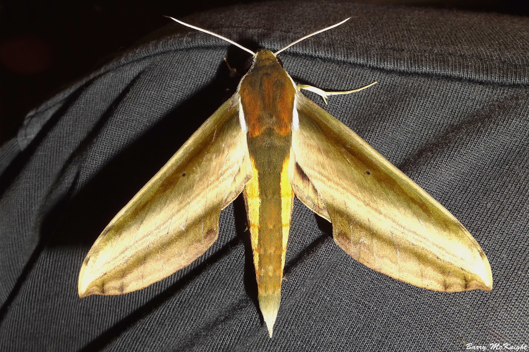 Moth #929 - Theretra nessus